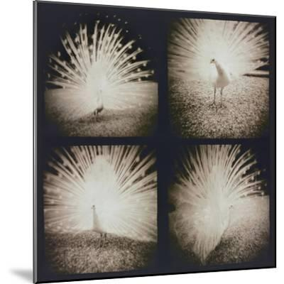White Peacock Four times-Theo Westenberger-Mounted Photographic Print