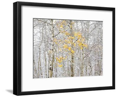 Fall Birch-Andrew Geiger-Framed Photographic Print