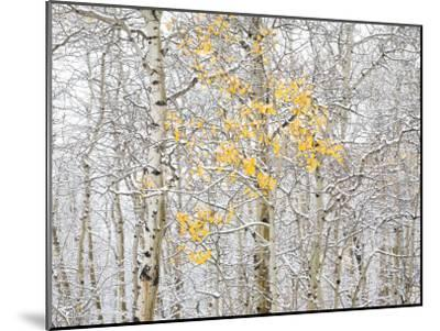 Fall Birch-Andrew Geiger-Mounted Photographic Print