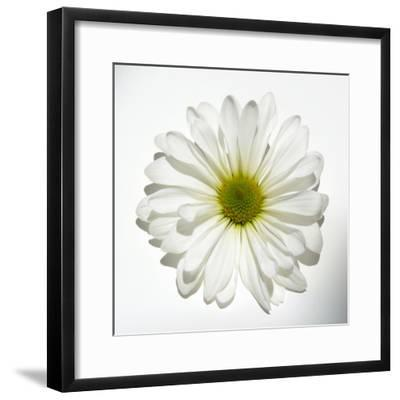 White Daisy-Gail Peck-Framed Photographic Print