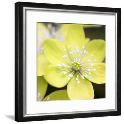 Yellow Blossom--Framed Photographic Print