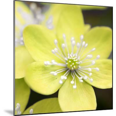 Yellow Blossom--Mounted Photographic Print