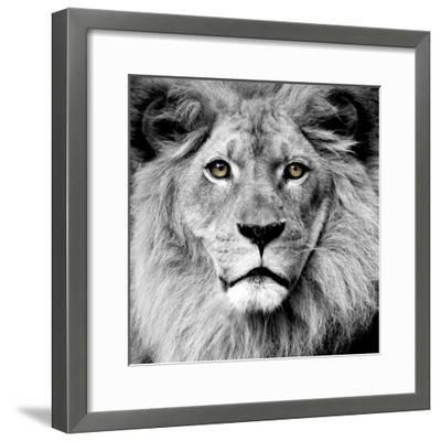 Lion--Framed Photographic Print