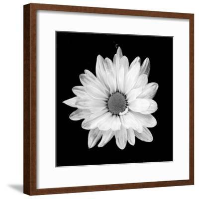 White Daisy-Gail Peck-Framed Photographic Print