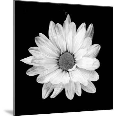 White Daisy-Gail Peck-Mounted Photographic Print
