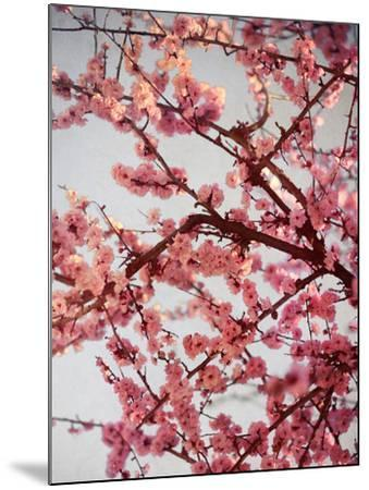Cherry Blossoms II-Susan Bryant-Mounted Photographic Print