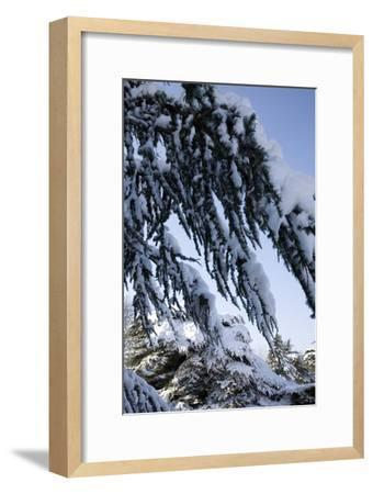 Evergreen Trees Covered in Snow-Benedict Luxmoore-Framed Photographic Print