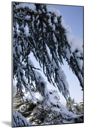 Evergreen Trees Covered in Snow-Benedict Luxmoore-Mounted Photographic Print