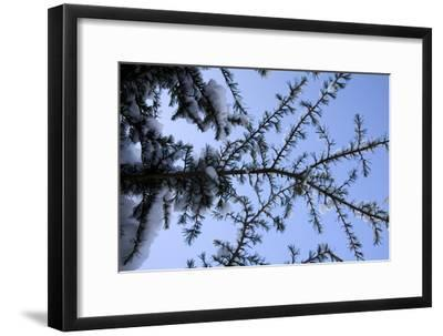 Evergreen Trees in Snow-Benedict Luxmoore-Framed Photographic Print