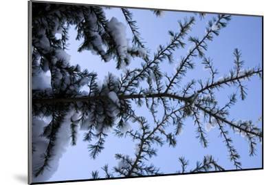 Evergreen Trees in Snow-Benedict Luxmoore-Mounted Photographic Print