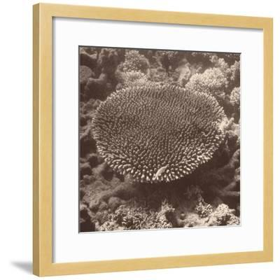 Sepia Barrier Reef Coral II-Kathy Mansfield-Framed Photographic Print