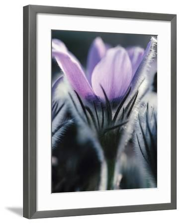 Close-up of Blooming Pasque Flower with Purple Petals--Framed Photographic Print