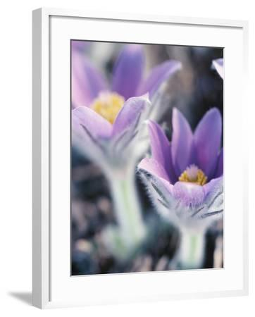 Close-up of Blooming Purple and Yellow Pasque Flower--Framed Photographic Print