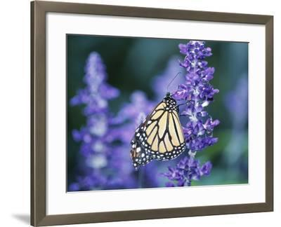 Beautiful Butterfly on Blooming Purple Flower--Framed Photographic Print
