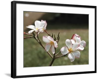 Blooming Pink and White Blossoms Growing on Twig--Framed Photographic Print