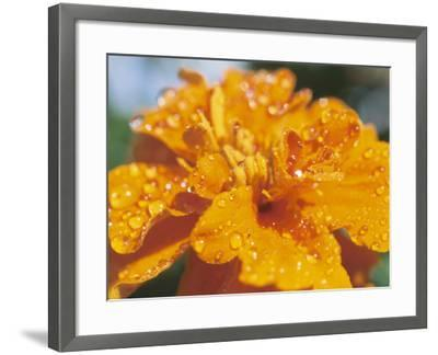 Dew on Blooming Orange Flower--Framed Photographic Print
