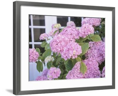 Hydrangeas and a Window--Framed Photographic Print