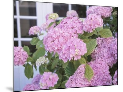 Hydrangeas and a Window--Mounted Photographic Print
