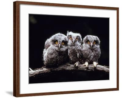 Screech Owlets Sitting on Tree Branch--Framed Photographic Print
