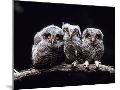 Screech Owlets Sitting on Tree Branch--Mounted Photographic Print