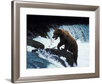 Grizzly Bear Catching Fish from Rushing Stream--Framed Photographic Print
