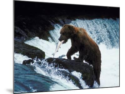 Grizzly Bear Catching Fish from Rushing Stream--Mounted Photographic Print