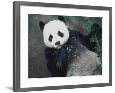 Messy Panda Lying Down While Eating Bamboo Shoots--Framed Photographic Print