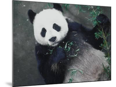 Messy Panda Lying Down While Eating Bamboo Shoots--Mounted Photographic Print