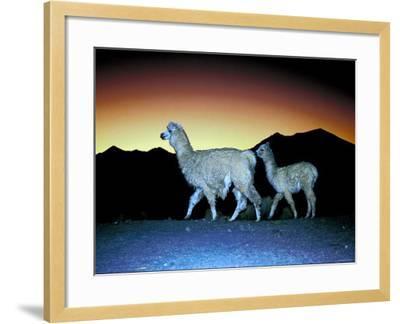 Family of Llamas Walking at Sunset--Framed Photographic Print