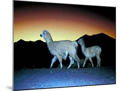 Family of Llamas Walking at Sunset--Mounted Photographic Print