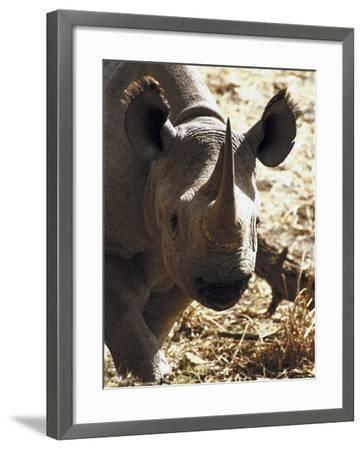 Hippopotamus Grazing in Field--Framed Photographic Print