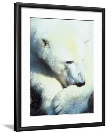 Polar Bear Chewing at Paw--Framed Photographic Print