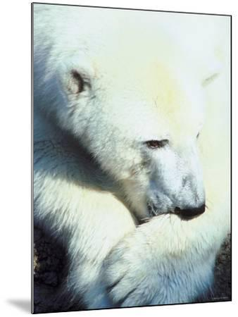 Polar Bear Chewing at Paw--Mounted Photographic Print