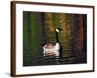 Canada Goose Swimming in Water--Framed Photographic Print