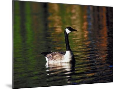 Canada Goose Swimming in Water--Mounted Photographic Print