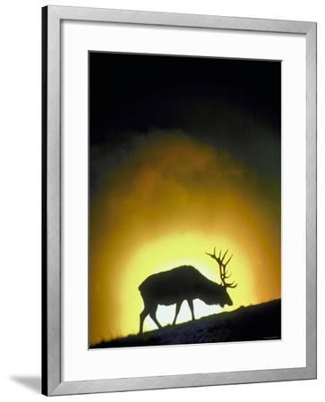 Elk Grazing in Field with Sun Setting Behind--Framed Photographic Print