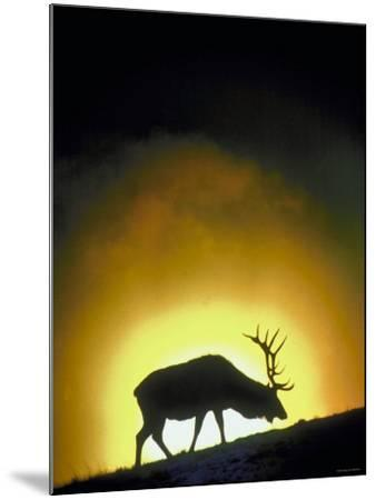 Elk Grazing in Field with Sun Setting Behind--Mounted Photographic Print
