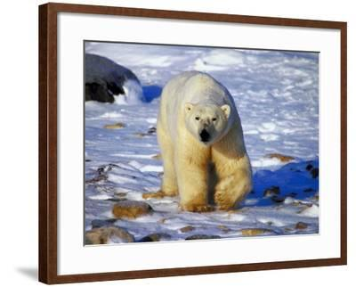 Polar Bear Walking on Snow Covered Surface--Framed Photographic Print