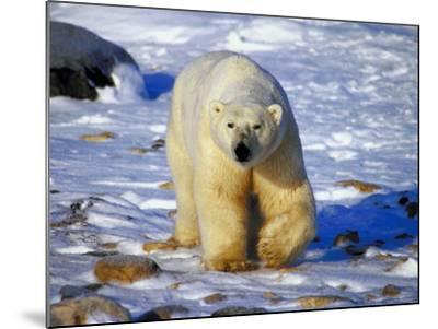 Polar Bear Walking on Snow Covered Surface--Mounted Photographic Print