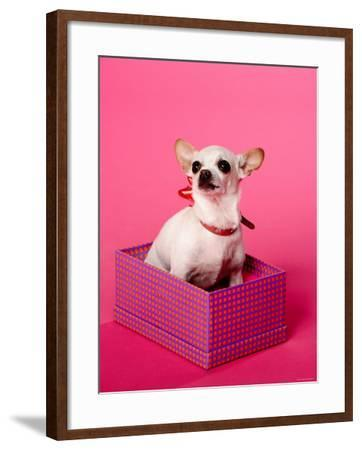 Small Chihuahua Sitting in Gift Box--Framed Photographic Print