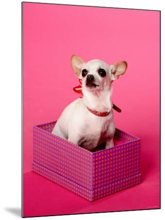 Small Chihuahua Sitting in Gift Box--Mounted Photographic Print