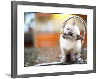 Cat Sitting on Counter and Licking Drops of Water from Kitchen Faucet--Framed Photographic Print