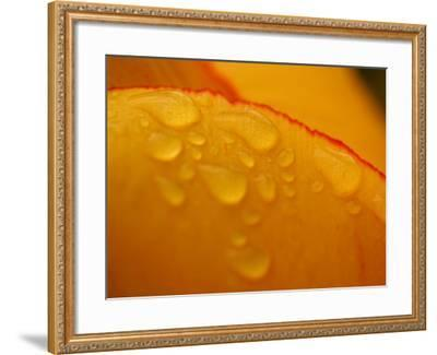 Close-up of Bright Yellow Tulip Petals with Water Droplets--Framed Photographic Print
