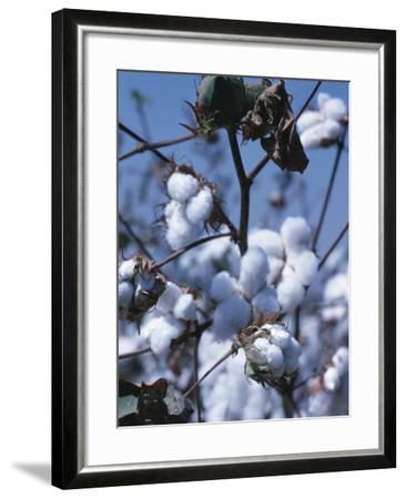 Cotton Tree - Israel--Framed Photographic Print