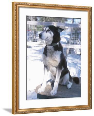 Husky Dog Sitting on Kennel--Framed Photographic Print