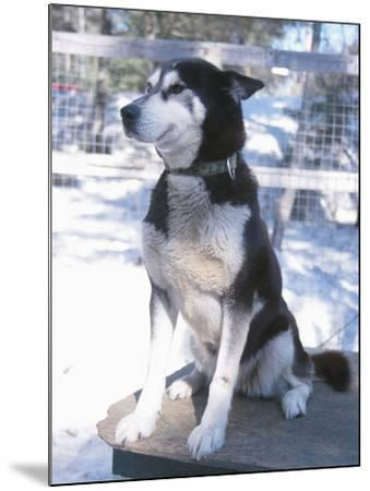 Husky Dog Sitting on Kennel--Mounted Photographic Print