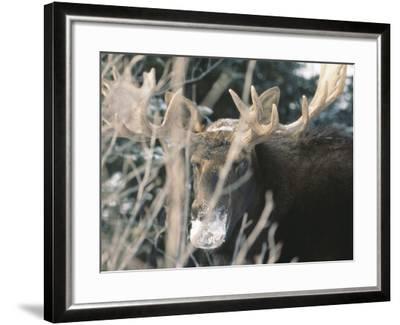 Moose--Framed Photographic Print