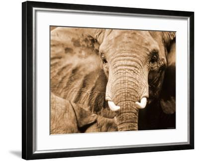 Close Up of Wrinkled Head of African Elephant--Framed Photographic Print