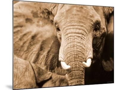 Close Up of Wrinkled Head of African Elephant--Mounted Photographic Print