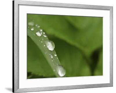 Close-up of a Blade of Grass with Fresh Clear Water Droplets--Framed Photographic Print